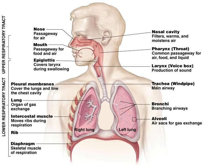 The Respiratory System The Apostles Agency
